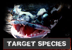 Killer Frog target Fish Species