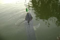 giant_snakehead_topwater_lure_fishing