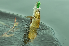 northern_pike_in-sweden_on_killer_frog_lure