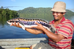 snakehead_breeding_colours