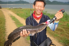 striped_snakehead_fish_new_killer_walk_the_frog
